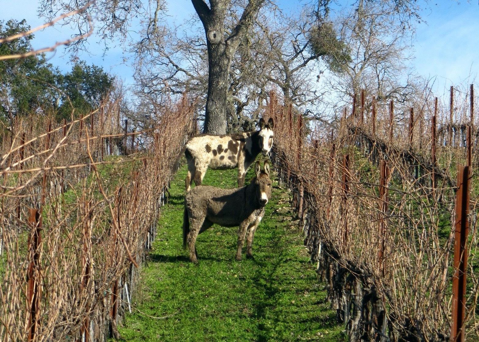 Donkeys On Guard At Tablas Creek Horizontal